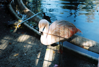 Flamingo, 35mm Color-Negative, 2014